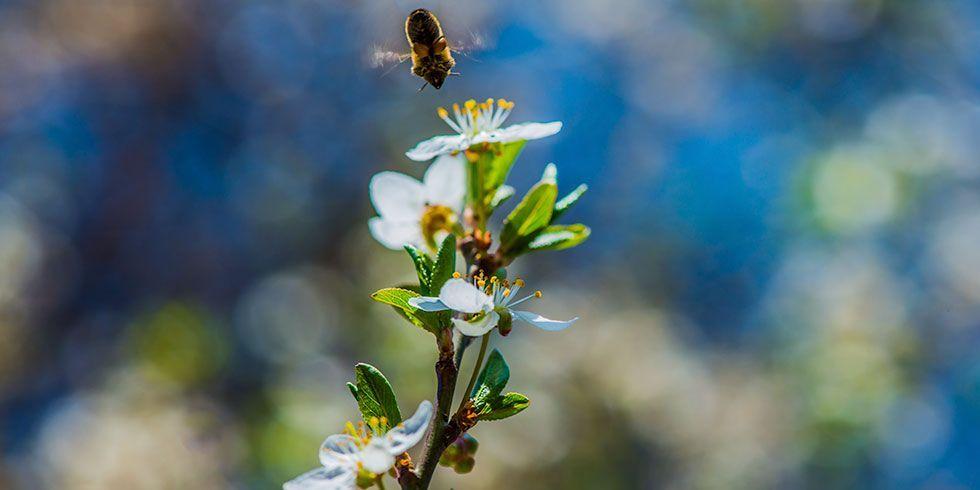 ajudar no caso do desaparecimento das abelhas