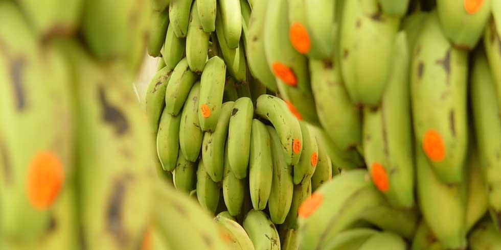Uma nova Subespécie do mal-do-Panamá ameaça plantações de bananas em todo o mundo