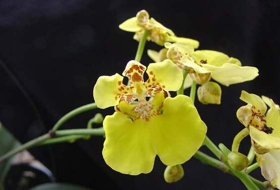 nova espécie de orquídea é encontrada em Panamá