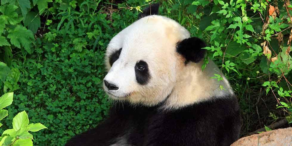 Pandas sob a ameaça