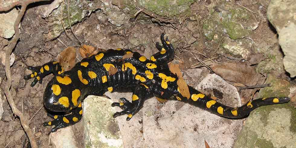 Salamandras contra o aquecimento global