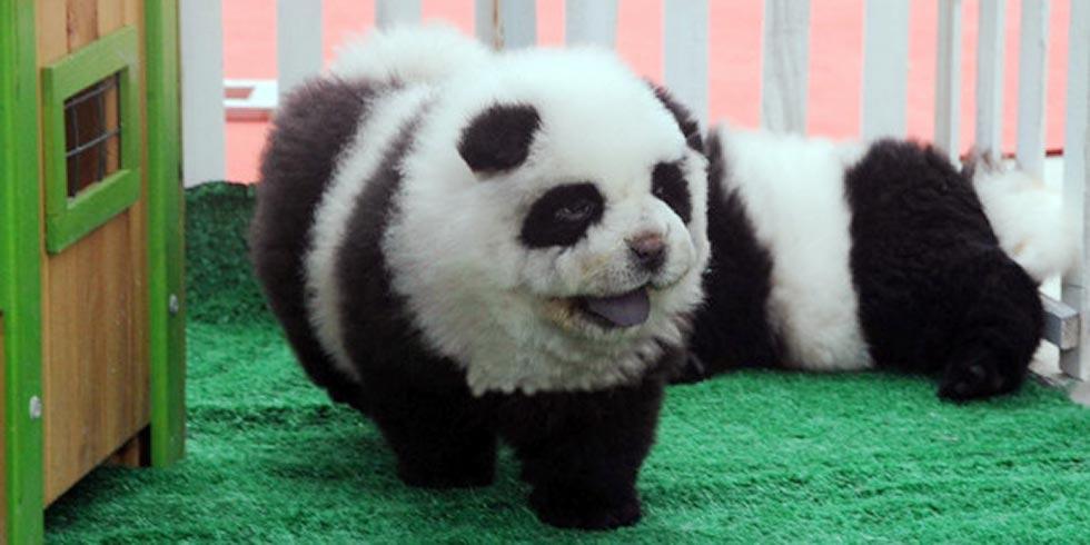 cachorros-pandas