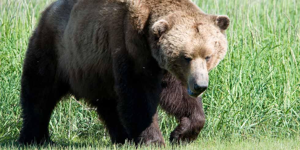 ursos praticam sexo oral