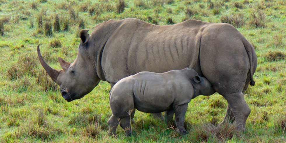 Gertjie, uma bebê rinoceronte