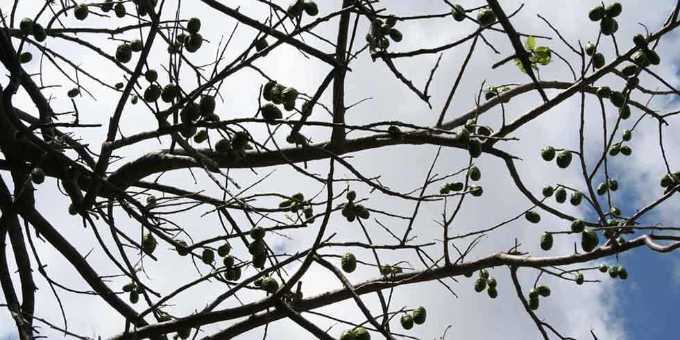 plantas nativas brasileiras