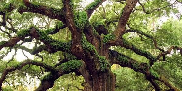 árvores mais antigas do mundo