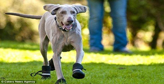 cachorro de botas