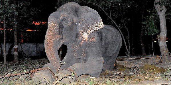 elefante que chorou ao ser libertado
