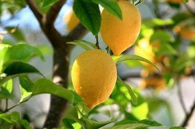 limoni_vaso