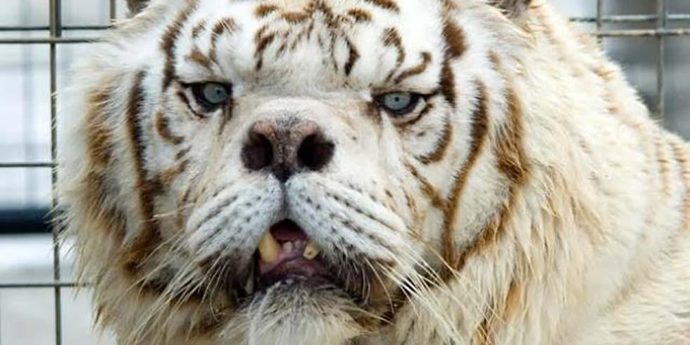 tigre branco portador de Síndrome de Down