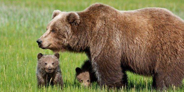 Morte de mamãe ursa