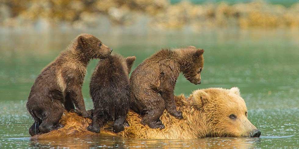 família ursa unida atravessa um riacho