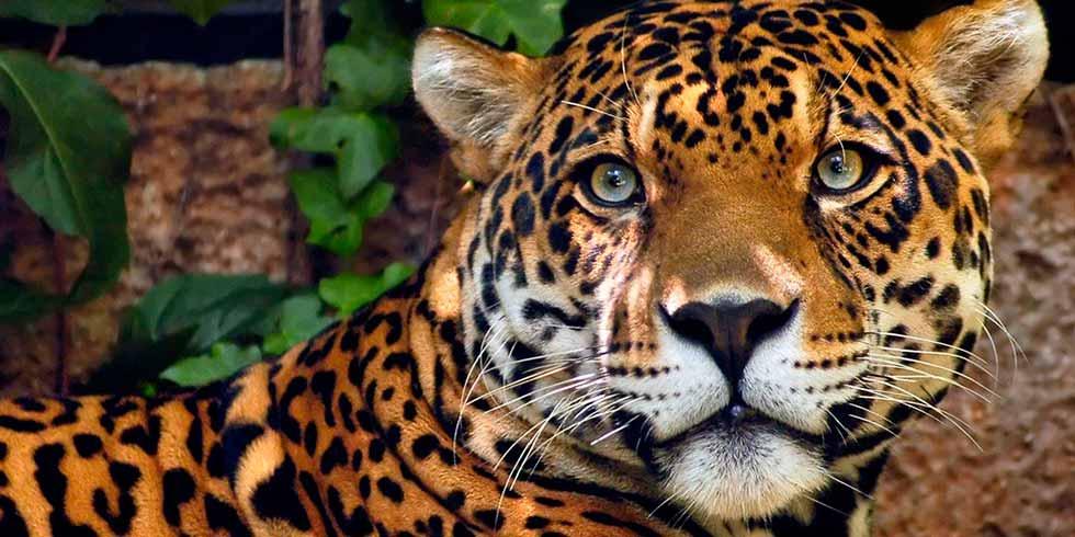 Onça–pintada está à beira da extinção