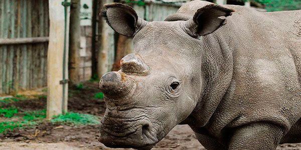 Existem seis rinocerontes brancos do norte no mundo