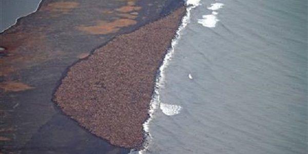 35 mil morsas paradas em uma praia