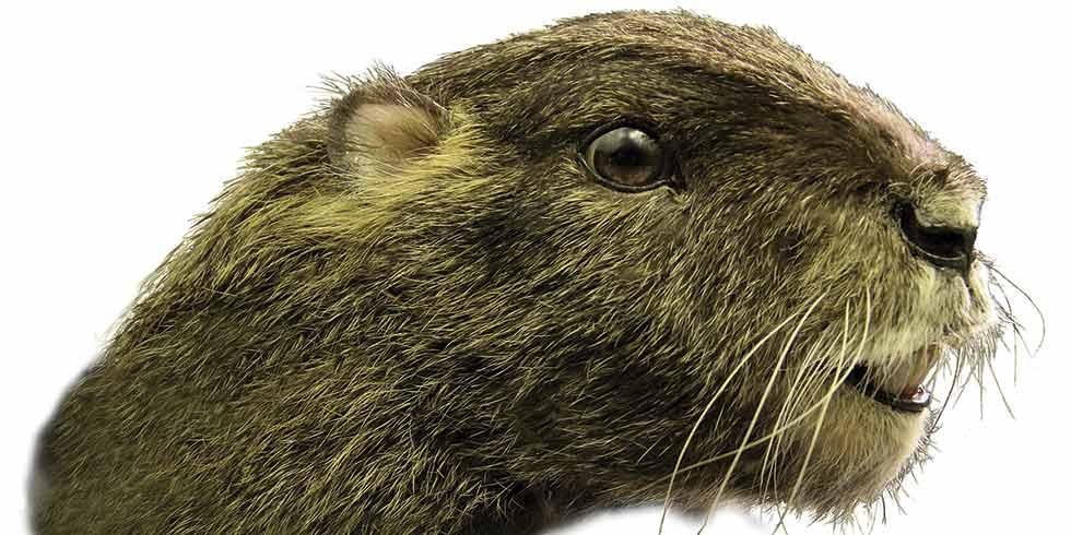 marmota pré-histórica muda história de mamíferos na Terra