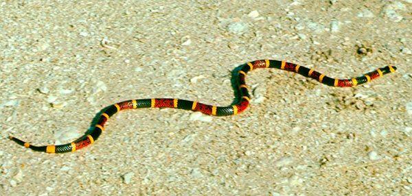 Cobras venenosas do Brasil