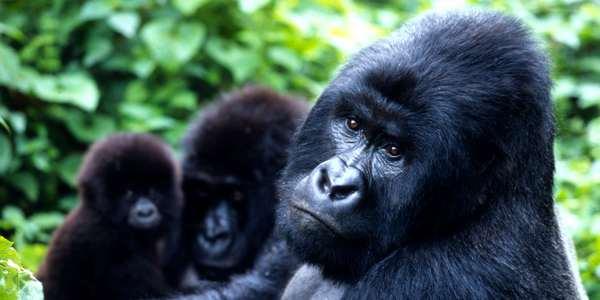 A busca por petróleo na África ameaça os últimos gorilas