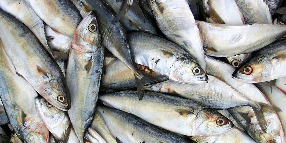 Mortandade de peixes na Baía de Guanabara