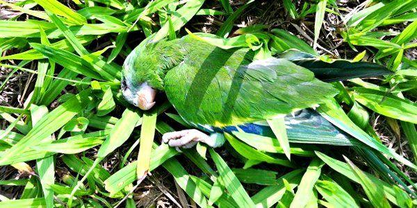 Periquito morto encontrado na avenida Efigênio Sales, em Manaus