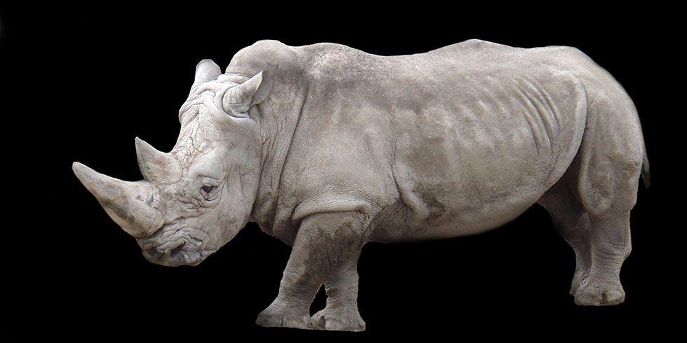 Rinoceronte raro more em San Diego
