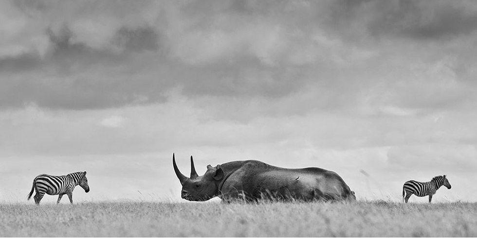 Alta tecnologia para a preservação de rinocerontes