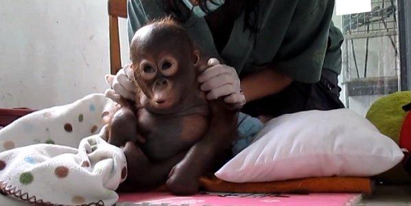 Budi, um filhote de orangotango