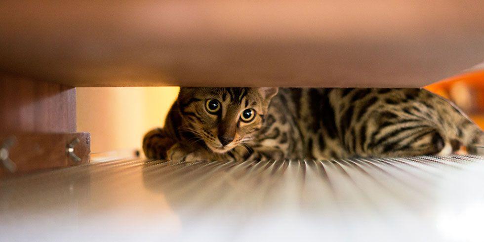 Gatos veem coisas que nós não vemos