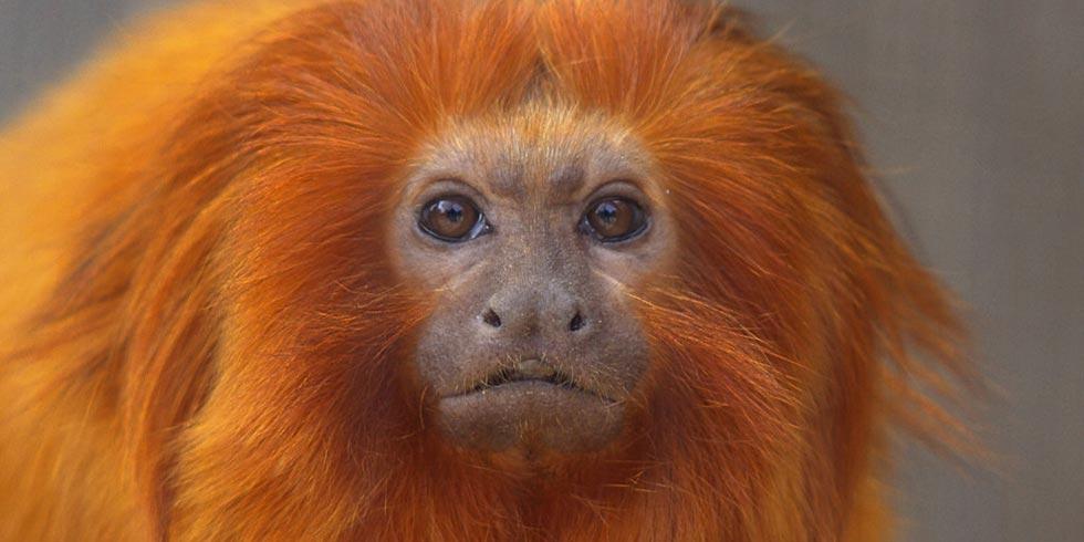micos-leões-dourados