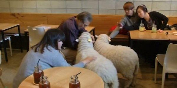Cafés com ovelhas fazem sucesso