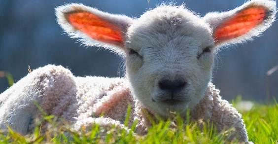 Páscoa campanha italiana para salvar os cordeiros