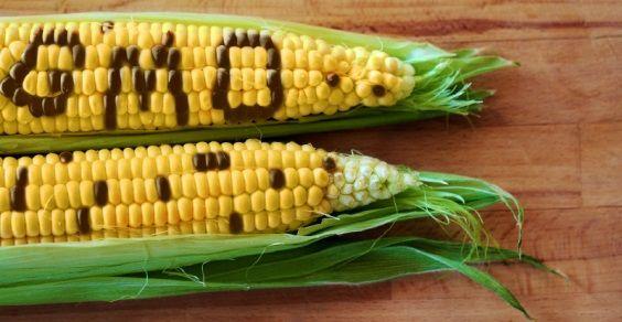 Duas novas variedades de milho transgênico