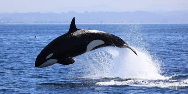orcas revelam o mistério da menopausa