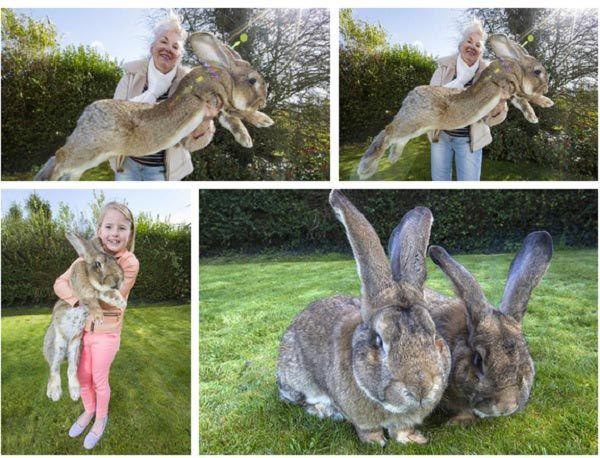 Colagem de fotos do maior coelho