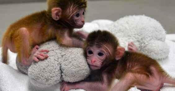 bebes macaco