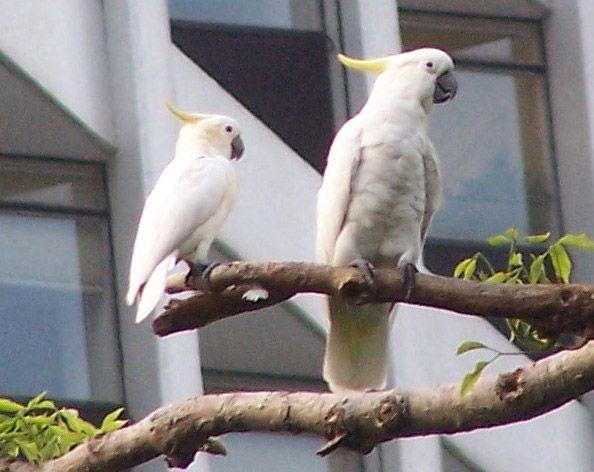Papagaio cacatua
