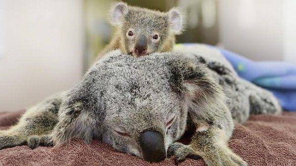 Coala bebê e sua mãe operada