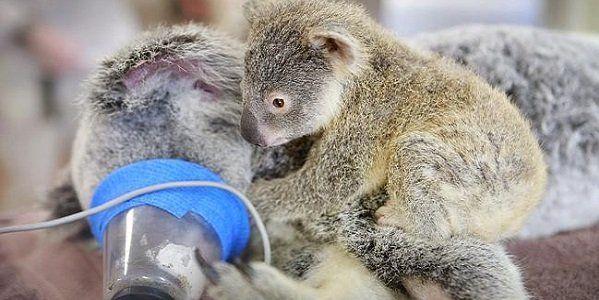 coala bebe mamame capa