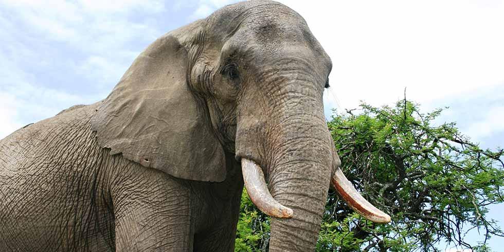 elefante caca