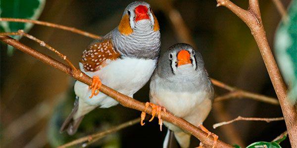 Pássaros gays