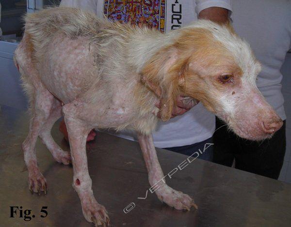 Cachorro com leishmaniose