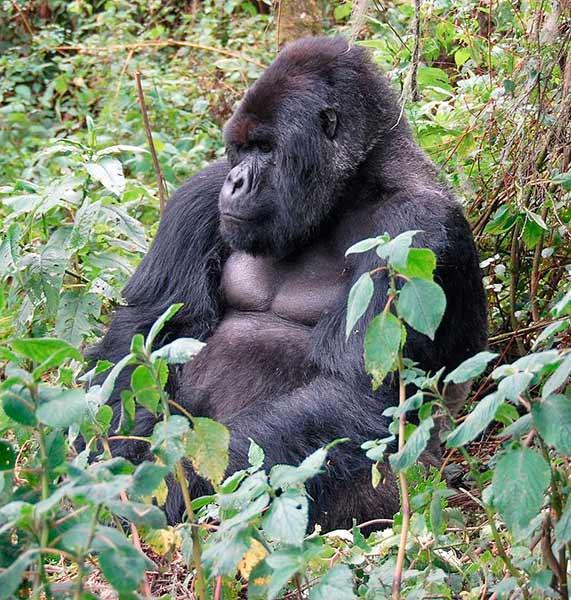 gorila montanha