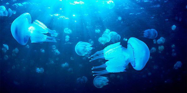 medusa picada