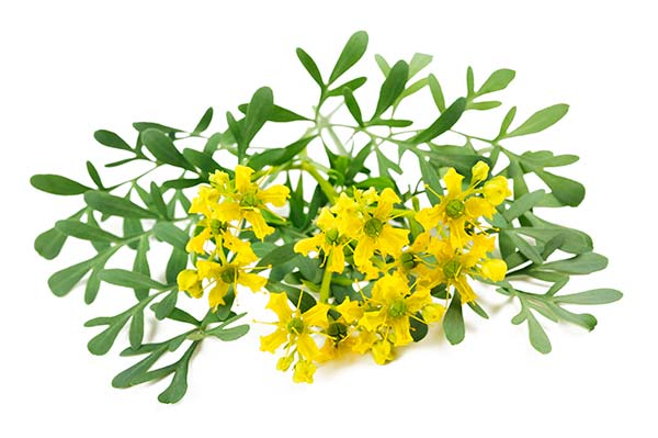 Arruda, uma planta de muitos usos e tradições. Conheça seu poder ...