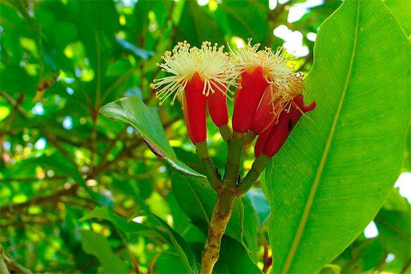 Cravo-da-índia-flor