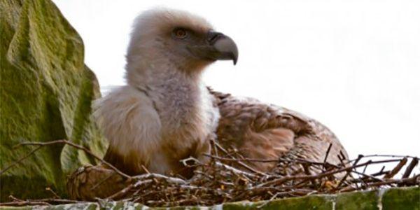 abutres-gays-adotam-ovo