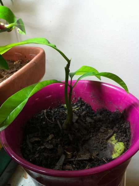 cultivar manga 5