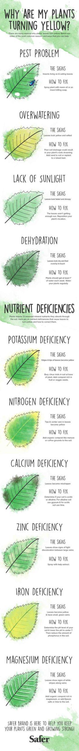 plantas amarelando infográfico