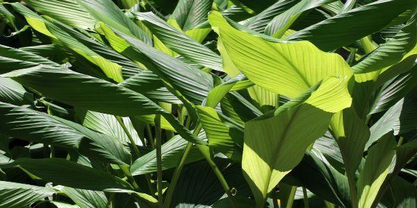 como-plantar-curcuma