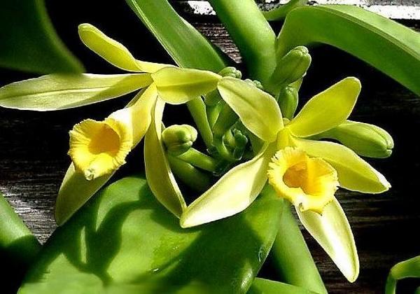orquidea baunilha